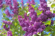 Flieder, Syringa, Lilac