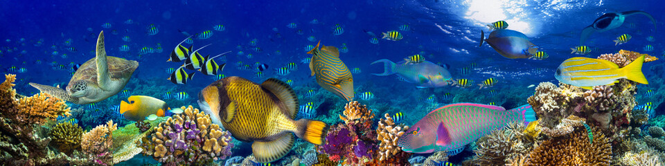 Fototapeta Panorama colorful wide underwater coral reef panorama banner background with many fishes turtle and marine life