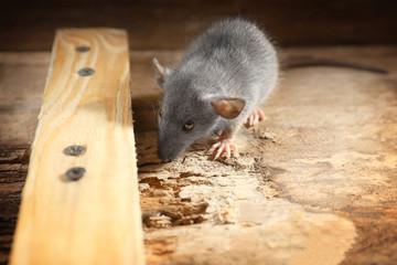 Cute little rat on wooden background