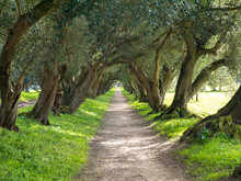 Alley Of Olive Trees