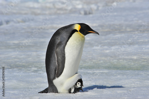 Photo sur Toile Pingouin Emperor Penguin with chick