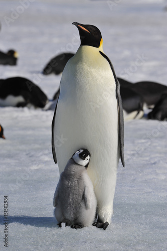 Poster Antarctica Emperor Penguins with chicks