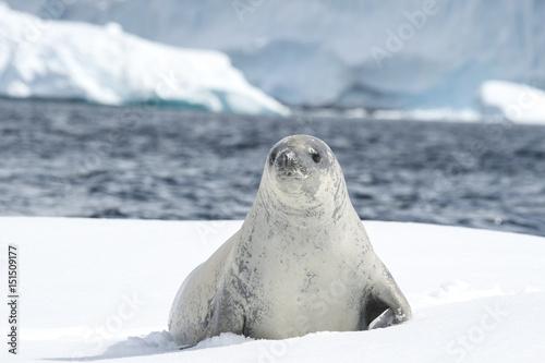 Fototapeta premium Crabeater seal on the ice.