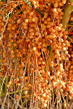 Palm Tree Dates (Phoenix Dacty...