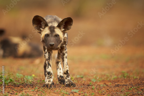 Poster Hyène Portrait of African Wild Dog Lycaon pictus puppy staring directly at camera in close up distance. Low angle photography. Typical african reddish soil. Blurred background. Soft light. South Africa.