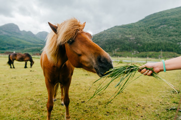 Wildlife in Norway. Scandinavian fjord beautiful horses on pasture eat grass on field in summer rainy weather. Cloudy sky. Mountains on background. Rocks. Funny mammal animals. Rural. Travel. Nature.