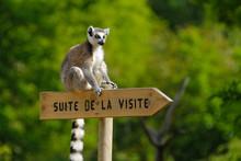 Lémurien Zoo Animal Singe Par...