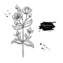St. John's Wort Vector Drawing Set. Isolated Hypericum Wild Flower And Leaves. Herbal Engraved Style Illustration