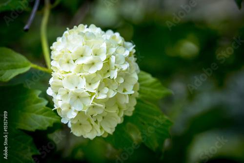Une Fleur Boule De Neige Blanche Avec Ses Feuilles Buy This Stock
