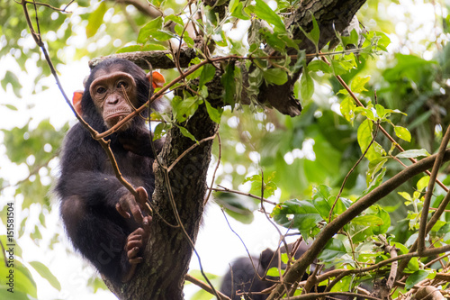 Photo  YOUNG CHIMP IN MAHALE'S JUNGLE