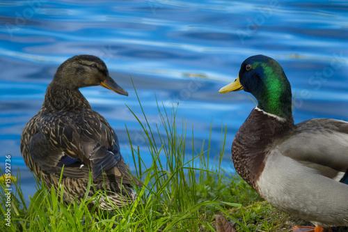 Photo  wild ducks (Anas platyrhynchos)