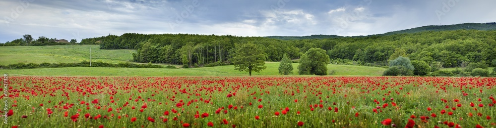 panorama with red poppies and tree in Tuscany