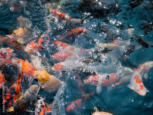 Poster Coral reefs koi fish in the garden pond