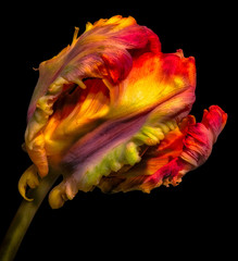 Fototapeta Tulipany rainbow pop-art surrealistic/fantastic realism/fantasy parrot tulip blossom on black background, fine art still life bright colorful macro portrait of a single isolated closed bloom