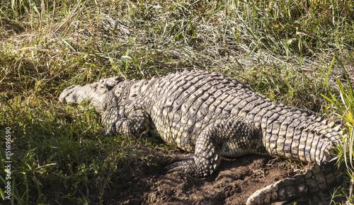 Foto op Plexiglas Krokodil Nile Crocodile Crocodylus Niloticus in the Water, with Full Reflection, Serengeti, Tanzania