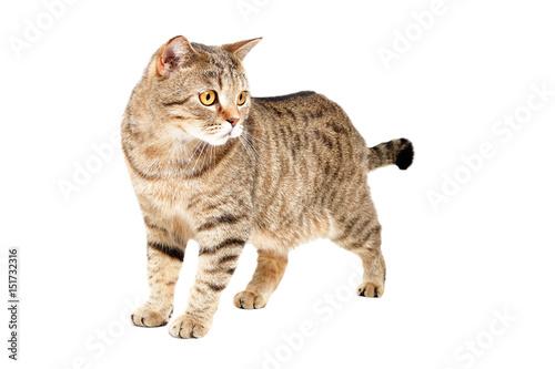 Fototapeta Cat Scottish Straight standing isolated on white background obraz