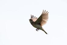 野鳥 ヒバリ