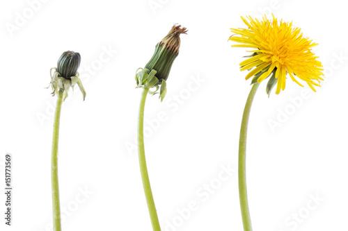 Obraz na plátně Dandelion flower in three phases