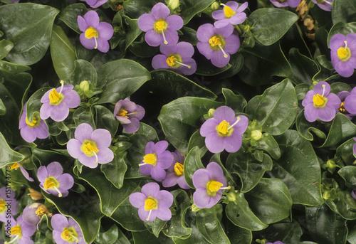 Exacum affine / Violette de Perse Canvas Print