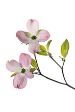 Pink Dogwood Tree Flowers