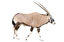 Oryx Gazella Or Gemsbok Walkin...
