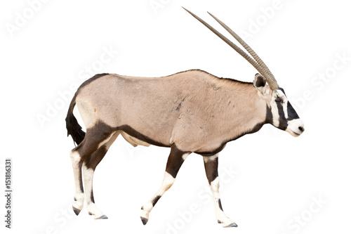 Oryx Gazella or Gemsbok walking seen from side isolated on white background