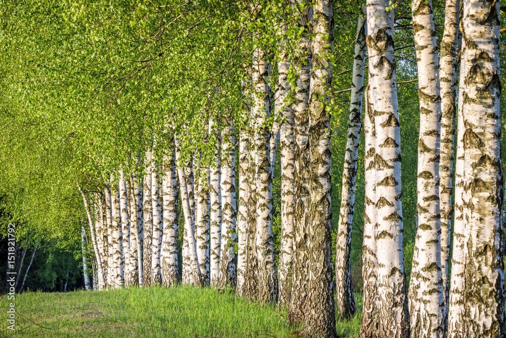Fototapety, obrazy: Birch forest
