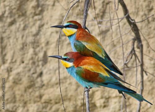 Fotografie, Obraz  European bee-eater on branch, Merops apiaster