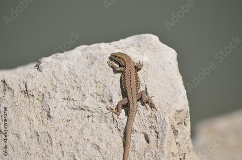 Photographie  Lézard des murailles (Podarcis muralis)
