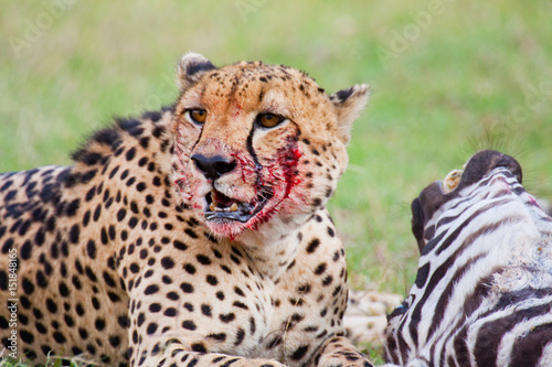 Fotografering  A cheetah with a zebra kill