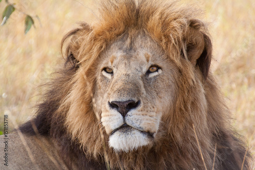 Photo Portrait of a male lion