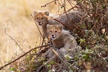 Three Cheetah Cubs In A Bush