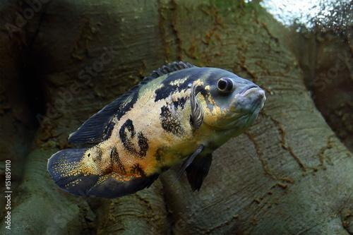 Tiger Oscar. Astronotus floats in the aquarium Canvas-taulu
