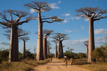 Fototapeta Baobab Alley, Madagascar