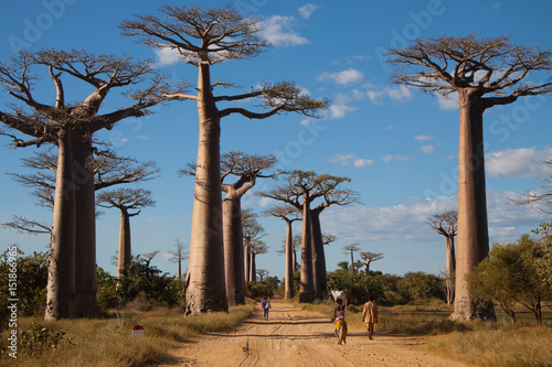 Printed kitchen splashbacks Baobab Baobab Alley, Madagascar