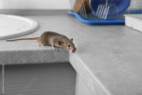 Cute little rat on table near sink