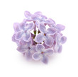 Bunch of lilac flowers on white background