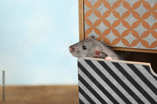 Cute funny rat in decorative box on table, closeup