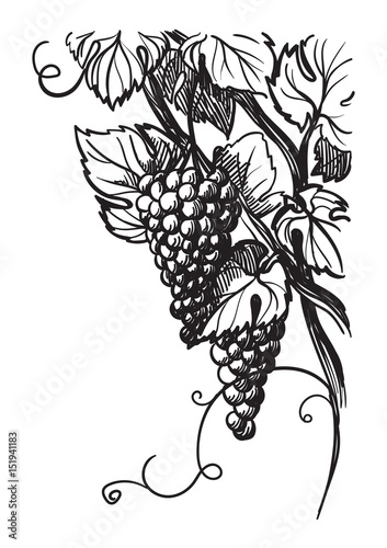ripe vine grape with leaves isolated on white in graphic style hand-drawn vector illustration. Fototapete