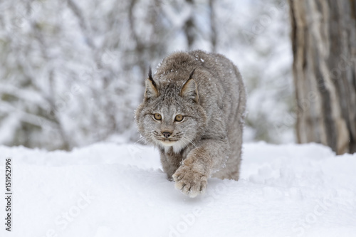 Photo Stands Lynx Bobcat In The Snow