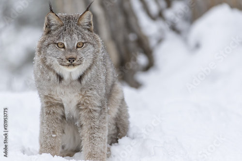 Spoed Foto op Canvas Lynx Bobcat In The Snow
