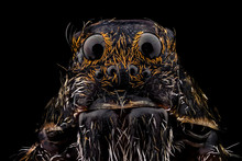 Portrait Of A Wolf Spider Magnified 10 Times. Real Life Frame Width Is 2.2mm.