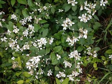 White Flowers On Weed