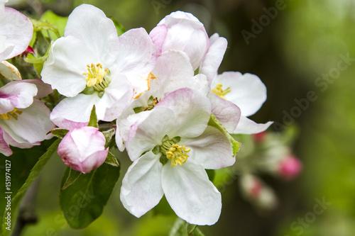 Obrazy kwiat jabłoni   kwiat-jabloni