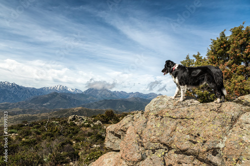 Border Collie on rocky outcrop looking over mountains in Corsica Slika na platnu