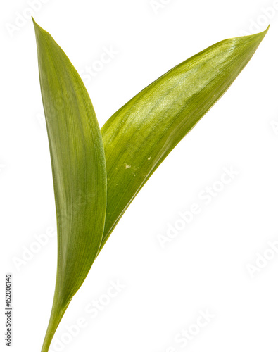 Wall Murals Lily of the valley Green leaves of lily of the valley flowers. Isolated on white background