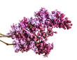 Blooming lilac flowers. Isolated on white background