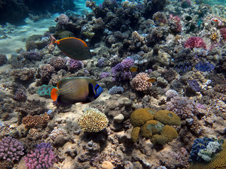 Naklejka na ściany i meble Emperor angelfish in coral garden