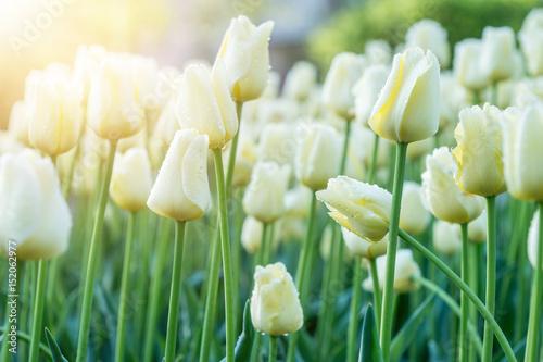Obraz Białe tulipany w słonecznych promieniach - fototapety do salonu