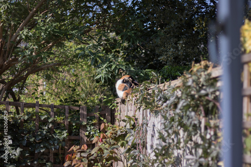 Fotomural View from an open window to a garden: a three-colored cat sits and heats its back on a wooden fence among the greenery on a sunny day